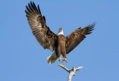 Bald Eagle Defending Territory Stock Images