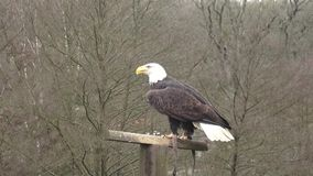 The bald eagle on departure