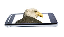 Bald eagle on display smartphone. Collage Stock Photo