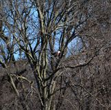 Bald eagle in distance perched in tree royalty free stock image