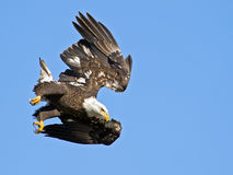 Bald Eagle Dive. Bald Eagle in flight entering a Dive royalty free stock image