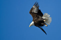 Bald Eagle Diving After Prey Royalty Free Stock Photo