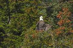 Bald Eagle Drying His Wings from the Morning Fog Royalty Free Stock Image