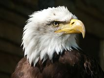 Bald Eagle, Eagle, Raptor, Beak Royalty Free Stock Image