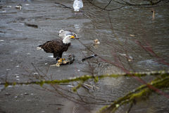 Bald Eagle. Eagles congregate along the banks of the Nooksack River in western Washington state feeding on the carcasses of spawned out chum salmon royalty free stock photography