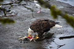 Bald Eagle. Eagles congregate along the banks of the Nooksack River in western Washington state feeding on the carcasses of spawned out chum salmon royalty free stock photo