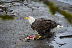 Bald Eagle. Eagles congregate along the banks of the Nooksack River in western Washington state feeding on the carcasses of spawned out chum salmon stock images
