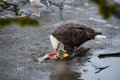 Bald Eagle. Eagles congregate along the banks of the Nooksack River in western Washington state feeding on the carcasses of spawned out chum salmon royalty free stock photos