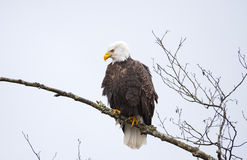 Bald Eagle. Eagles congregate on the Nooksack River, along the Mt. Baker highway in western Washington state, to feast on spawned out salmon carcasses during the royalty free stock photo