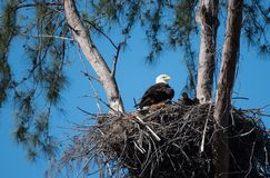 A bald eagle and an eaglet sit in their nest Stock Image