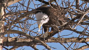 Bald eagle eating fish in cottonwood tree stock footage