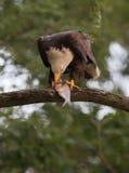 Bald eagle eating fish stock photos