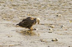 Bald Eagle Eating a Salmon Royalty Free Stock Photography