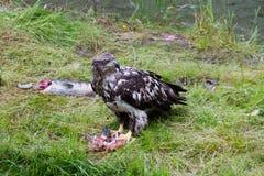 Bald eagle eating salmon Stock Photo