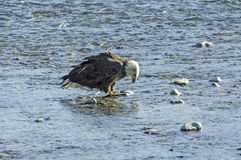 Bald Eagle Eating a Salmon Royalty Free Stock Photo