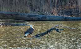 Bald Eagle enjoying the sunlight on a log in a pond Stock Photography