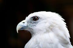 Bald eagle face Royalty Free Stock Photos