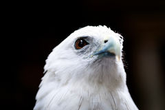 Bald eagle face Royalty Free Stock Image