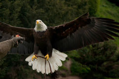 Bald eagle and falconer's glove Royalty Free Stock Photography
