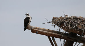 Osprey Nest. Barr lake state park, Colorado Royalty Free Stock Images