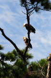 Bald Eagle Family Tree. A family of American Bald Eagles -  haliaeetus leucocephalus - together in the tree they nest in.  The female sits above the male and the Stock Photo
