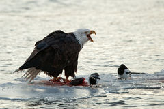 Bald Eagle feeding Stock Images