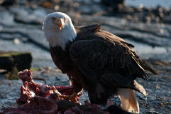 Bald eagle feeding on carcass Royalty Free Stock Image