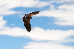 Golden Eagle flying on a blue sky Royalty Free Stock Photography