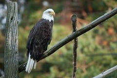 Bald Eagle on Fence royalty free stock image