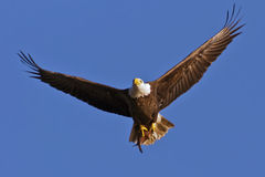 Bald Eagle with Fish. Bald Eagle in flight with fresh caught Shad in it's talons Royalty Free Stock Photography