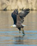 Bald Eagle with Fish. A bald eagle swoops in and grabs its dinner, below Conowingo Dam in northeastern Maryland Stock Photography