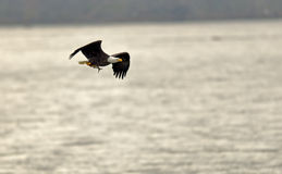 Bald Eagle with fish. An adult bald eagle (Haliaeetus leucocephalus) flies with a freshly caught fish in it's talons along a river in Northeast Maryland in late stock image