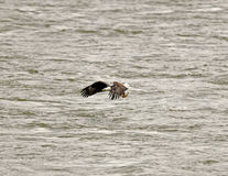 Bald Eagle with fish. An adult bald eagle (Haliaeetus leucocephalus) catches a fish in it's talons along a river in Northeast Maryland in late autumn stock photos