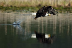 A bald eagle with a fish. A Bald Eagle catches a fish on a lake Stock Photography