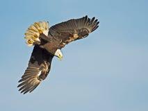 Bald Eagle Fish Dive. American Bald Eagle Dragging Overhead royalty free stock photo