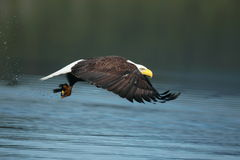 A bald eagle with a fish. A Bald Eagle fishing on a northern lake Royalty Free Stock Photography