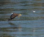 Bald Eagle and fish Stock Photography