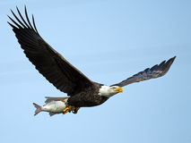 Bald Eagle with Fish. Bald Eagle in flight with large Fish royalty free stock image
