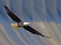 Bald Eagle with Fish. Bald Eagle in flight with large Fish stock photography