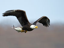 Bald Eagle with Fish. Bald Eagle in flight with large Fish royalty free stock images