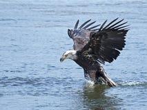 Bald Eagle Fish Grab. Bald Eagle making a Fish Grab stock photos