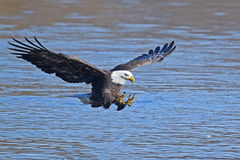 Bald Eagle Fish Grab. Bald Eagle Read to Grab Fish royalty free stock photos
