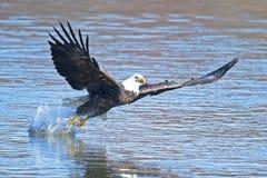 Bald Eagle Fish Grab. Bald Eagle Read to Grab Fish royalty free stock image