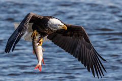 Bald Eagle With a Fish Stock Photography