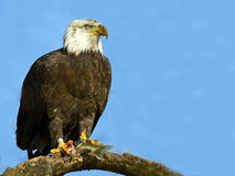 Bald Eagle with fish Royalty Free Stock Photo