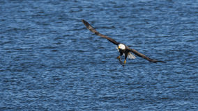 Bald eagle fishing Royalty Free Stock Photos