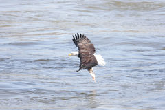 Bald Eagle Fishing Royalty Free Stock Photography
