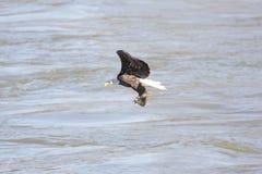Bald Eagle Fishing Royalty Free Stock Photography