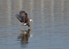 Bald Eagle fishing Royalty Free Stock Photo