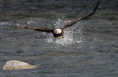 Free Bald Eagle Fishing For Salmon Stock Photos - 96948773